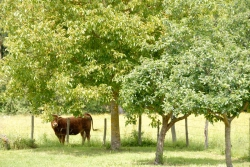 NOYERS-COW_BY_NATHANIEL-KRAUSE.jpg